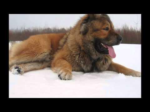 Кавказская овчарка - Caucasian Shepherd