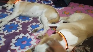 DOG COLLARS || LED DOG COLLARS || DOG RELAXING ON BED || CUTE DOGS || TUFFY AND LILY - Muscular dogs
