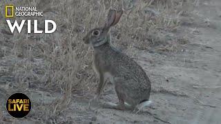 Safari Live - Day 383 Nat Geo Wild