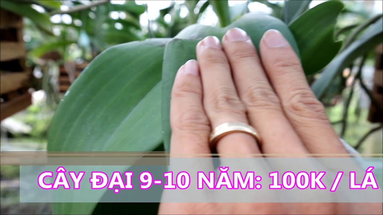 LAN NGỌC ĐIỂM CÂY ĐẠI (KHỦNG) 9-10 NĂM GIÁ RẺ TỪ 900K 🌺 LanTHAO.com – 0918.851152 🔰Số 125🔰