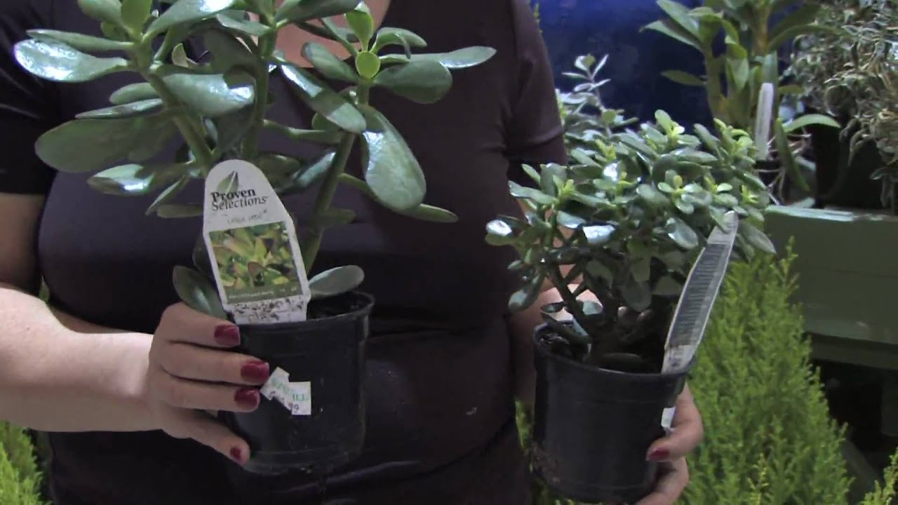 How To Grow Plants Flowers How To Care For Indoor Jade Plants