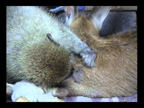 Mori grooms duiker - another video clip from the movie book Kalahari Dream