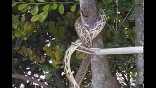 目の前の木にいきなりヘビが!捕まえるも一旦、逃がしてまう、ヘビ対人...