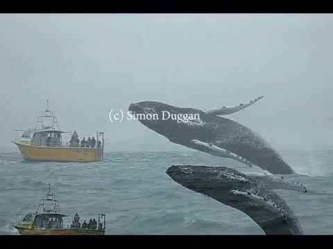Humpback Whale Breaching By Simon Duggan