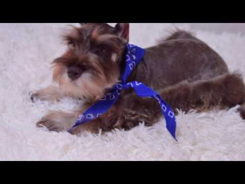 5 Reasons Why You Should Get A Miniature Schnauzer