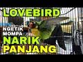Suara Lovebird Ngetik Mompa Ngekek Panjang Cocok Untuk Pancingan Lovebird Fighter  Mp3 - Mp4 Download