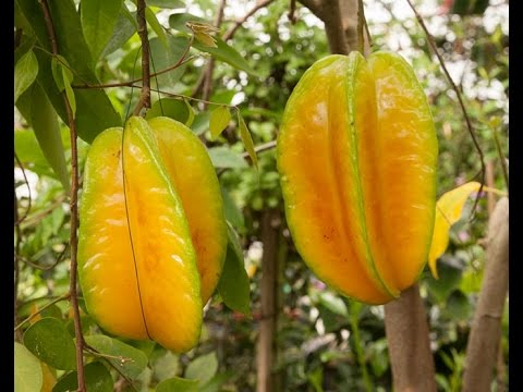 How To Grow Star Fruit In Containers