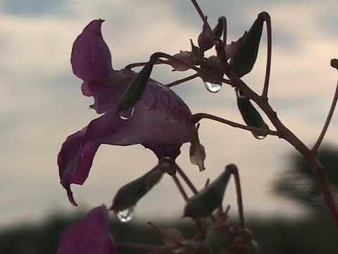 цветы  башмачки  день вечер после дождя