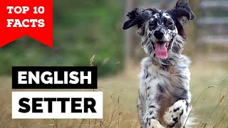 English Setter  Top 10 Facts