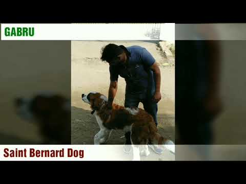 #Dogs Intelligent Dogs Breeds || Labra  Puppies || Saint Bernard Dog #GABRU || German shepherd Russu