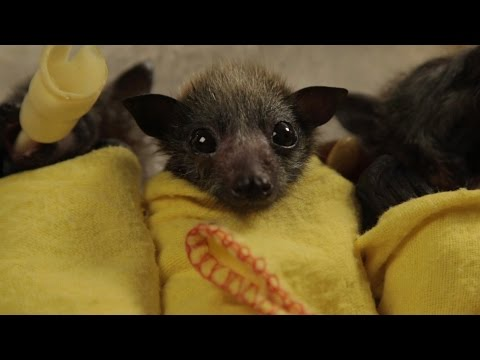 Baby Bats Swaddled Like Little Burritos Are Way Cuter Than You Might Expect