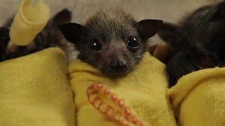 Baby Bat Burritos thumbnail