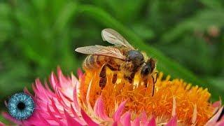 Folgenschweres Bienensterben: Haben Forscher jetzt die Lösung? - Clixoom Science & Fiction