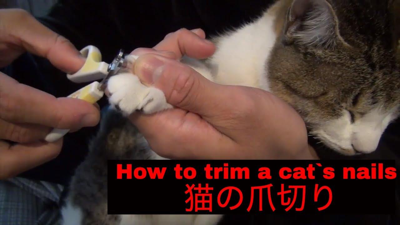 """How to trim a cat s nails çŒ ã çˆªåˆ‡ã'Šã ã'""""ã'Šæ–¹"""