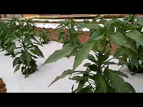 Vegetable cultivation in Vidya Vihar Central School ,Thrissur