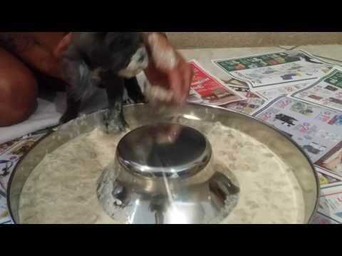 Puppies first meal. Weaning puppies from milk to food Old World Mastinos