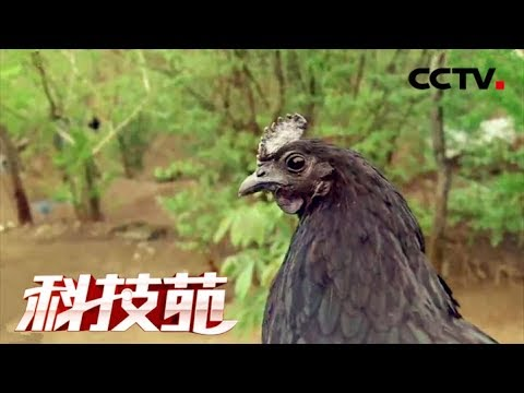 《科技苑》 20171129 秦岭深处养乌鸡 | CCTV农业