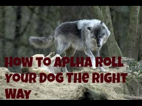 How to Alpha Roll Your Dog the Right Way
