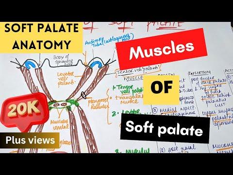 MUSCLES OF SOFT PALATE || Soft Palate Anatomy