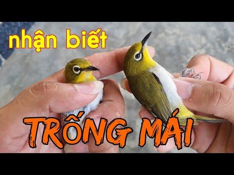 Phân biệt chim trống mái qua màu lông  Chia sẽ kinh nghiệm nuôi chim vành khuyên  Tuan Bird.