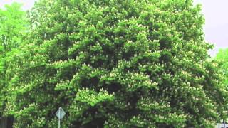Fast Growing Chestnut Oak Trees