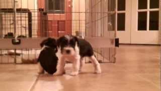 Kallie's Cuties - Olivia-miniature Schnauzer Puppy