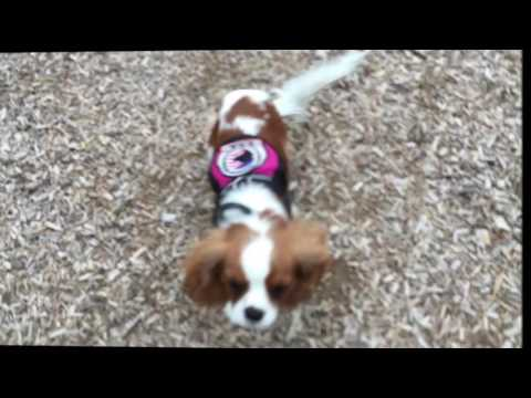 8 Month Old Cavalier King Charles, Charlee!  Certified Therapy Dog Training in Northern Virginia