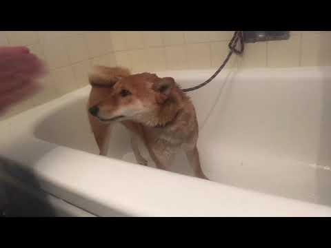 Bathing your Shiba Inu - Tutorial