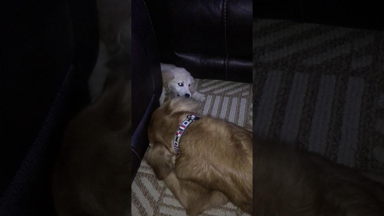 Golden Retriever puppy barks