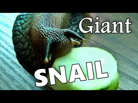 How big is a giant african land snail