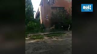 Собаки напали на кошку в Воронеже