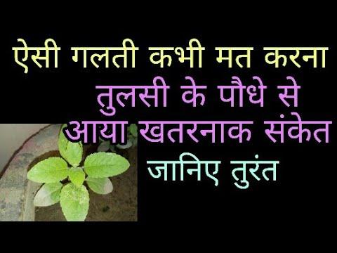तुलसी के पौधे से आ रहा है खतरनाक संकेत वीडियो देखें फिर ना कहना कि बताया नहीं thumbnail