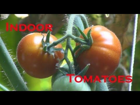 Indoor Tomato Clone Update & Hydroponic Tomato Update March 31, 2011
