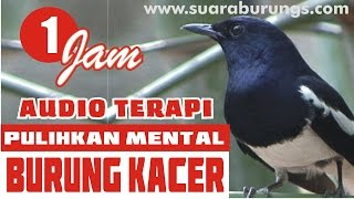 [New 2016] Audio Terapi Pulihkan Mental Burung Kacer