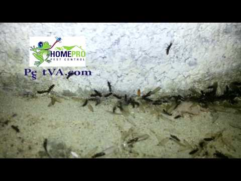 flying-termites-or-termites-with-wings:-chesapeake,-norfolk,-virginia-beach,-va|-homepro-pest-contro