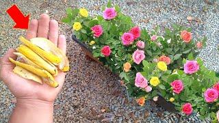 Apenas 4 cascas de banana nas rosas – olha o incrível resultado