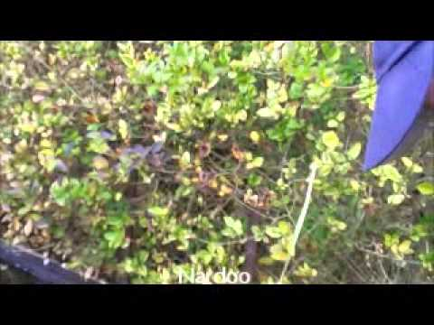 Types of pond plants for sale from houghton hills goldfish for Pond plants for sale