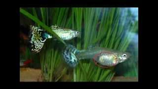 Caracteristicas del pez: Guppy. (nuevo video!)