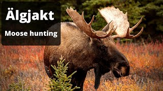 Moose hunting - The best of Swedish hunting 2020
