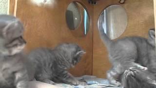 Британские котята. Родились 09-12-2015. Красноярск