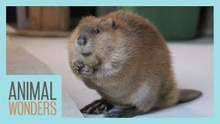 How To (Almost) Train A Beaver