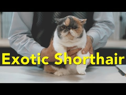 The Exotic Shorthair at a TICA Cat Show