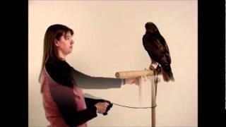 Isham the Red-tailed Hawk's Photo Shoot