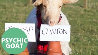 psychic goat predicts us election winner