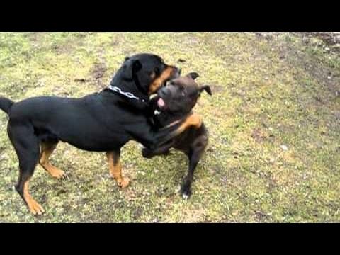 rottweiler-vs-amstaff---dog-videos-[mr-fenley]