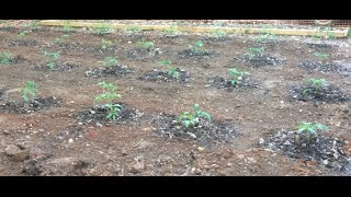 TOMATOES - PLANTING STEP-BY-STEP (OAG 2015)