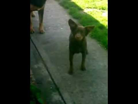 Little Brown Dog Barking (By Lupe Jasso)