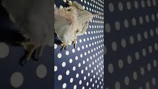 도마뱀 먹이주기(밀웜, 피딩, 파충류,lizard)