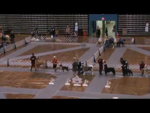 Boxer Dog Ch Tamaron's Leonidas Working Group Win 11-7-09-DOG SHOW
