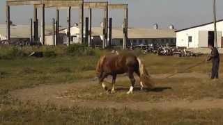 Терапия острого артрита у коня.Therapy of acute arthritis in the horse.